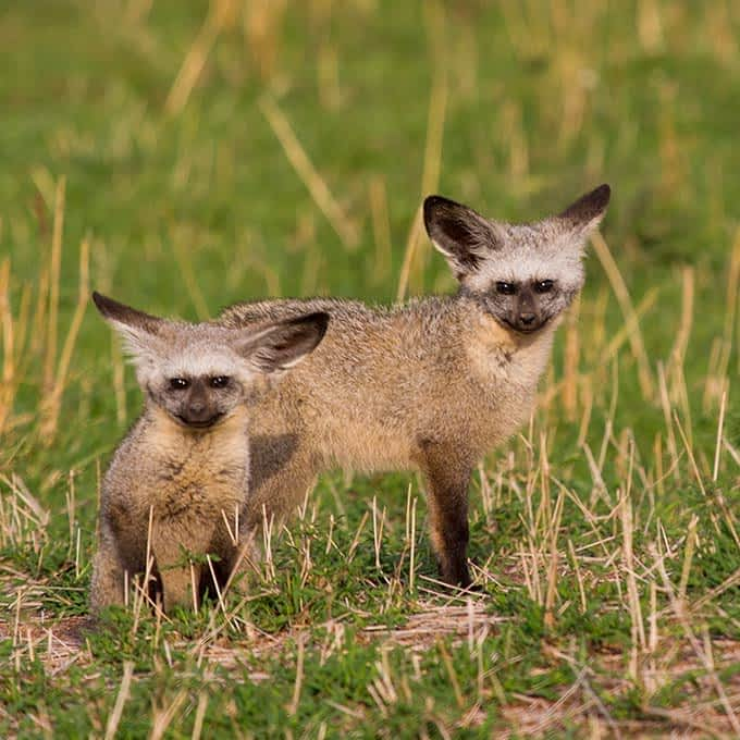 Animals of the Serengeti: bat-eared fox