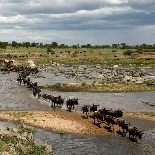 Read about the best time to visis Serengeti for the wildebeest miration