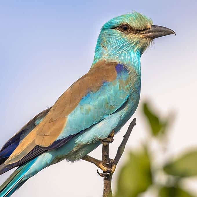 Birding in Serengeti: a magnificent European Roller