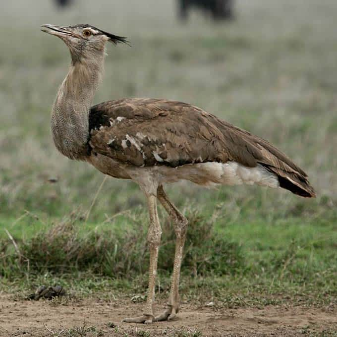 Kori bustard, one of Serengeti's iconic birds