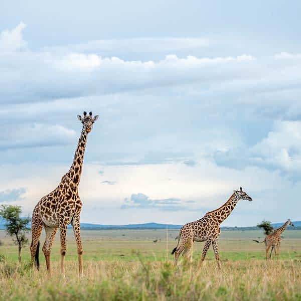 Read more about Serengeti wildlife