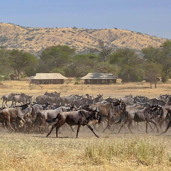 The Great Migration passing through the Western Corridor in Serengeti