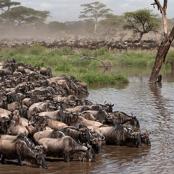The Great Migration in Grumeti Game Reserve, Tanzania