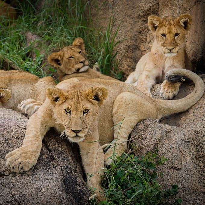 Lion cubs in Serengeti National Park