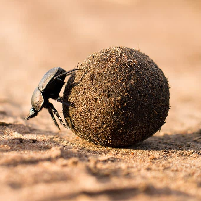 Essential for the Serengeti eco-system: dung beetle