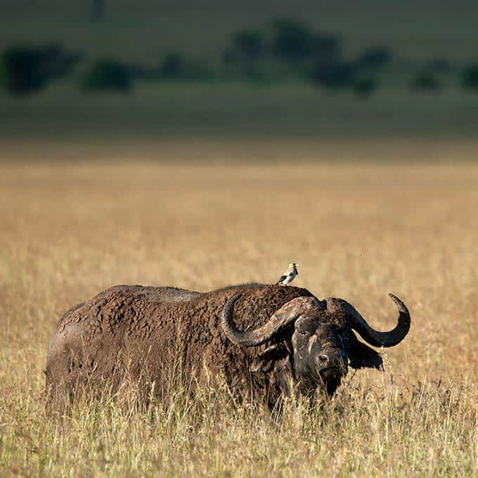 Buffalo on a Serengeti wildlife safari