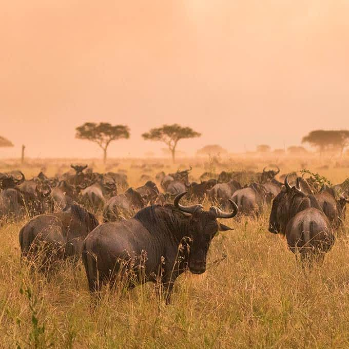 One of the most iconic Serengeti animals: wildebeest