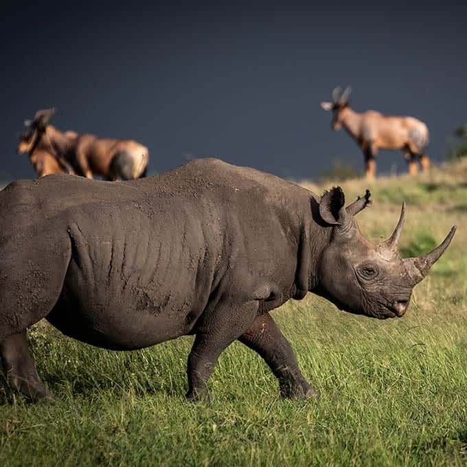 Wildlife safari in Tanzania: a black rhino in Serengeti